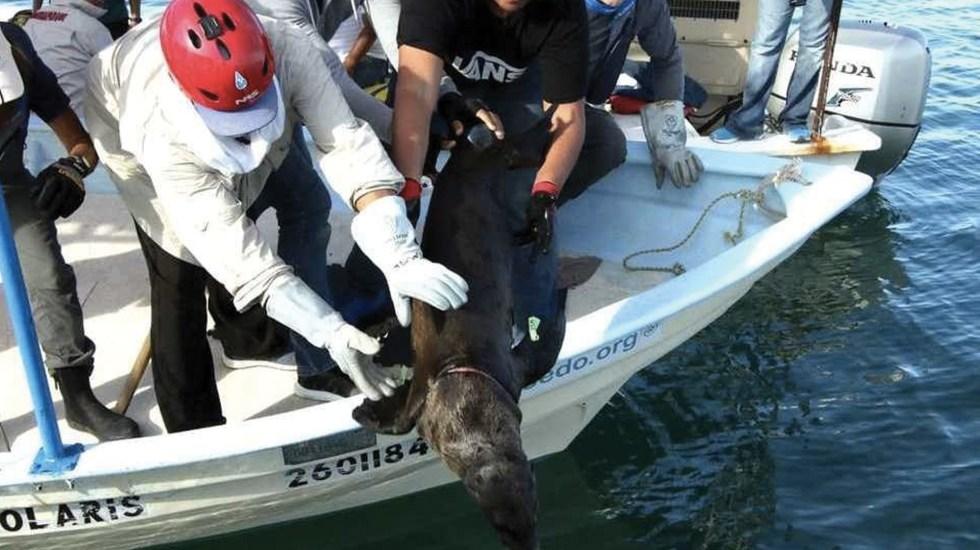 Rescatan a cinco lobos marinos atrapados en redes en Sonora - Foto de Milenio