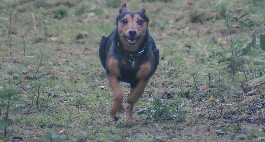 Perros matan a mujer de la tercera edad en Coyoacán - Ataques de perros perro