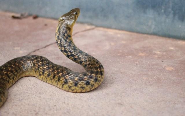 Mordeduras de serpiente, problema de salud pública en Edomex - Foto de Vikas Shankarathota @vikasvikas