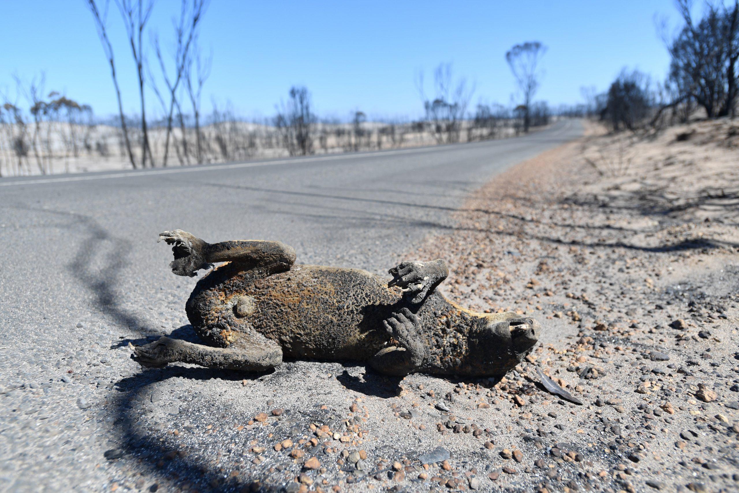 Más de mil millones de animales han muerto por incendios forestales de Australia