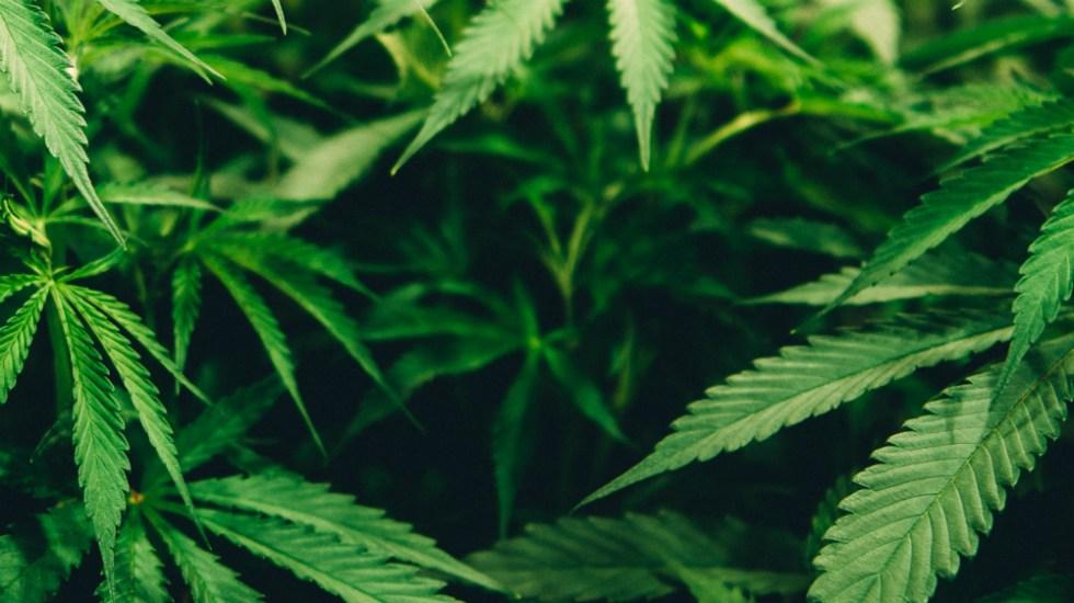 La ONU reconoce oficialmente las propiedades medicinales de la cannabis - Foto de Matthew Brodeur para Unsplash