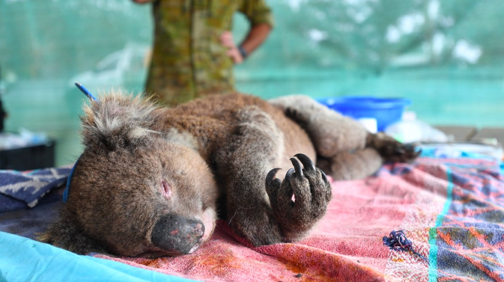 Improvisan hospital en Australia para atender a koalas heridos por incendios - Improvisan hospital en Australia para atender a koalas heridos por incendios
