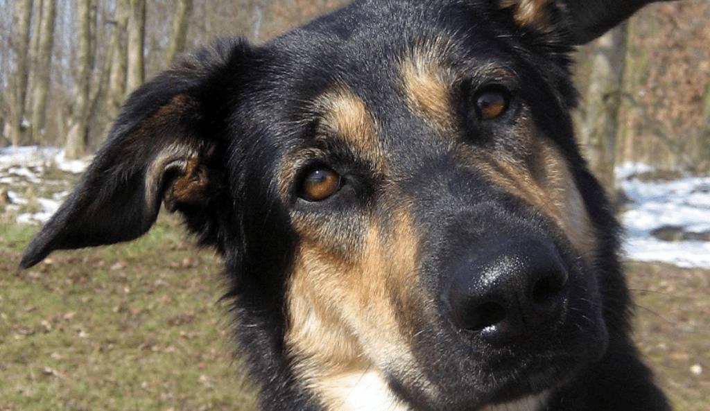 Estudio demuestra que los perros pueden identificar rostros - Foto de Juliane Bräuer/ SciTech Daily