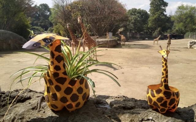 Zoológico de Chapultepec presenta a Sicarú, la nueva jirafa bebé - Foto de @ZoologicosCDMX