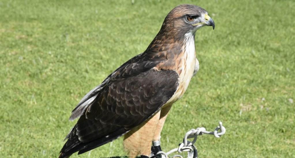 Pérdida de hábitat disminuye poblaciones de águila real. Noticias en tiempo real