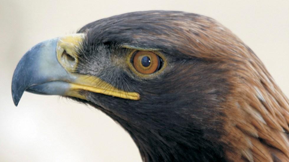 #Video Liberan águila real en desierto de Cuatro Ciénegas - Águila real. Foto de @PROFEPA_Mx