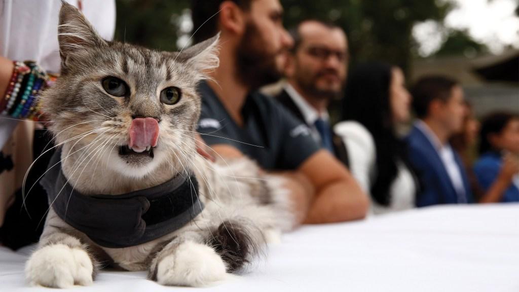 Implantan marcapasos a un gato en Colombia - Foto de EFE