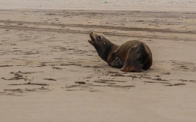 Rescatan en Sinaloa a dos lobos marinos heridos - Lobo marino con herida en una aleta, en playa de Sinaloa. Foto de @zoologicoculiacan