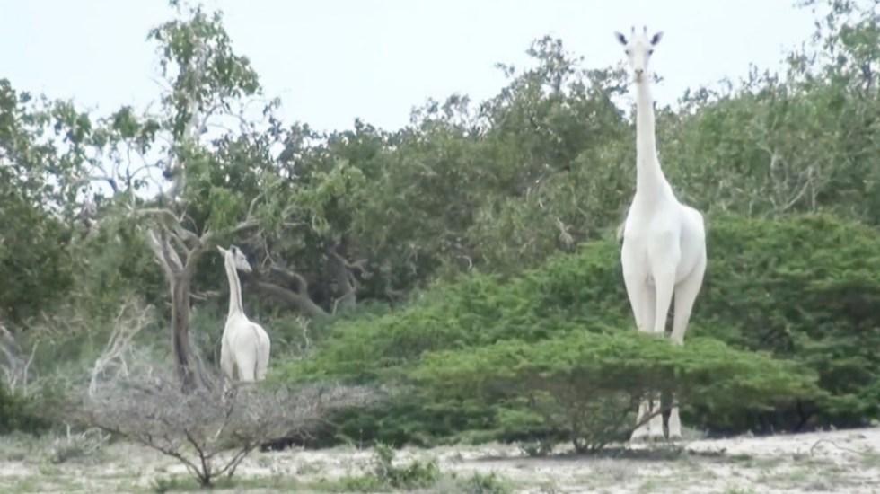 Cazadores furtivos matan a la única jirafa blanca de Kenia y a su cría - Foto de @Kenyans