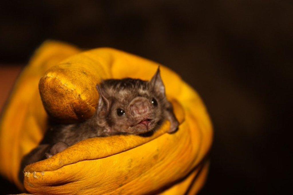 Intentan incendiar a medio millar de murciélagos en Perú por coronavirus - Foto de Serfor Perú