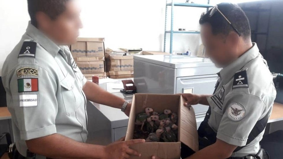 Guardia Nacional rescata 12 pericos verdes en Oaxaca - Guardia Nacional Oaxaca pericos