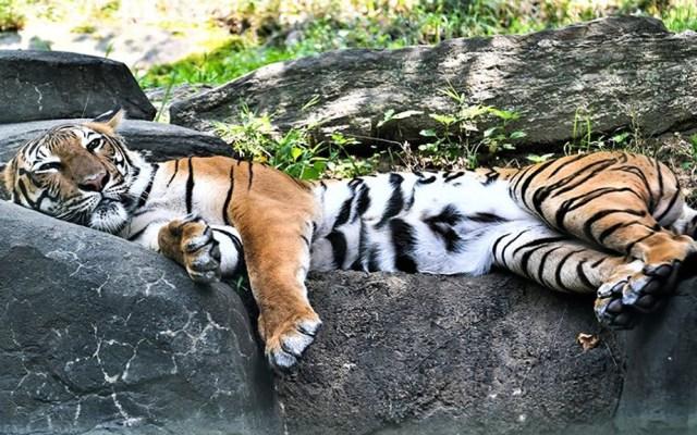 Siete felinos del Zoológico del Bronx dan positivo a COVID-19 - Tigre del Zoológico del Bronx. Foto de @bronxzoo