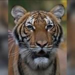 Tigre del zoológico del Bronx da positivo a coronavirus