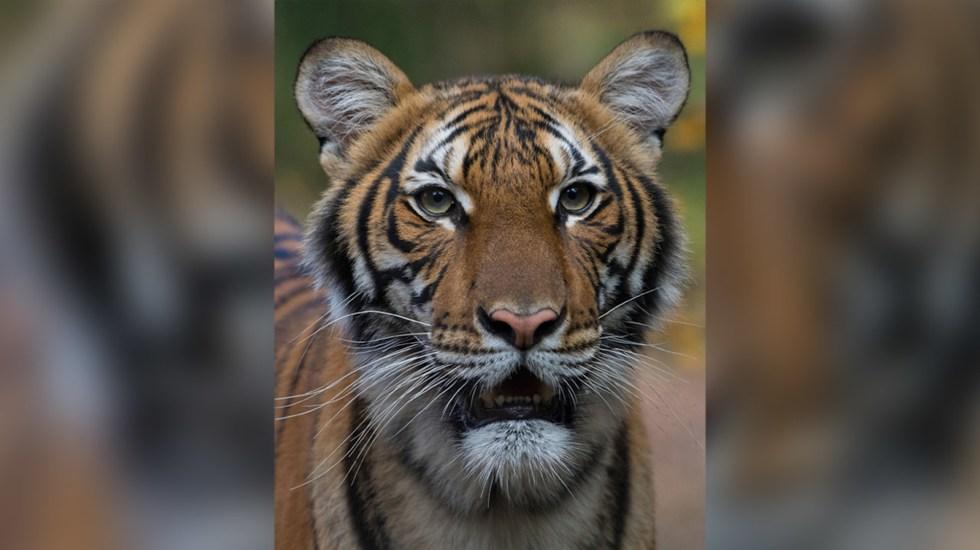 Tigre del zoológico del Bronx da positivo a coronavirus - Foto del Zoológico del Bronx