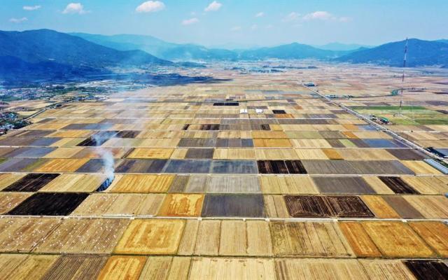 Campos de cebada en Corea del Sur. - Vista aérea de vastos campos de cebada que parecen listos para la temporada de cosecha en Jangseong, Corea del Sur. Foto de EFE.