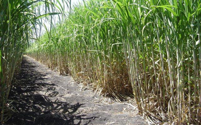 Promueven tecnología sustentable para producción de caña de azúcar - Foto de https://www.gob.mx/agricultura (Archivo)