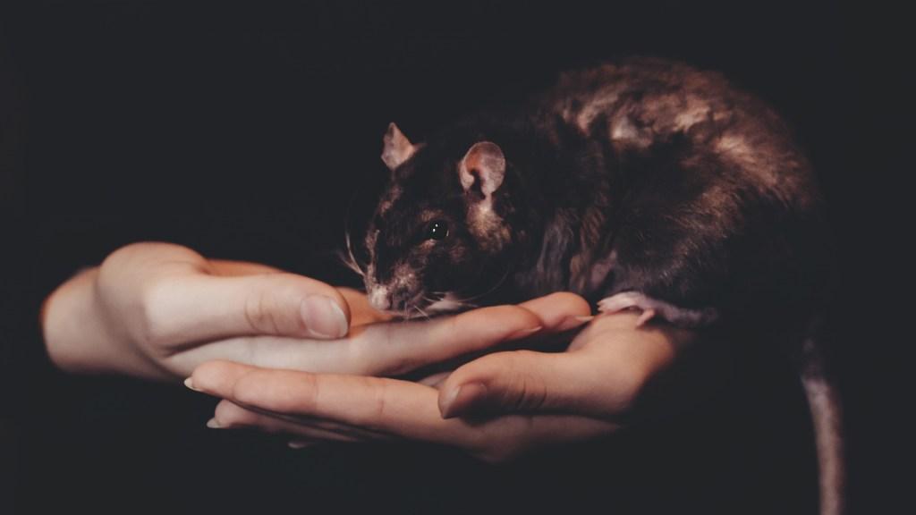 Ratas transmiten hepatitis a seres humanos; aún se desconoce cómo - Rata animal