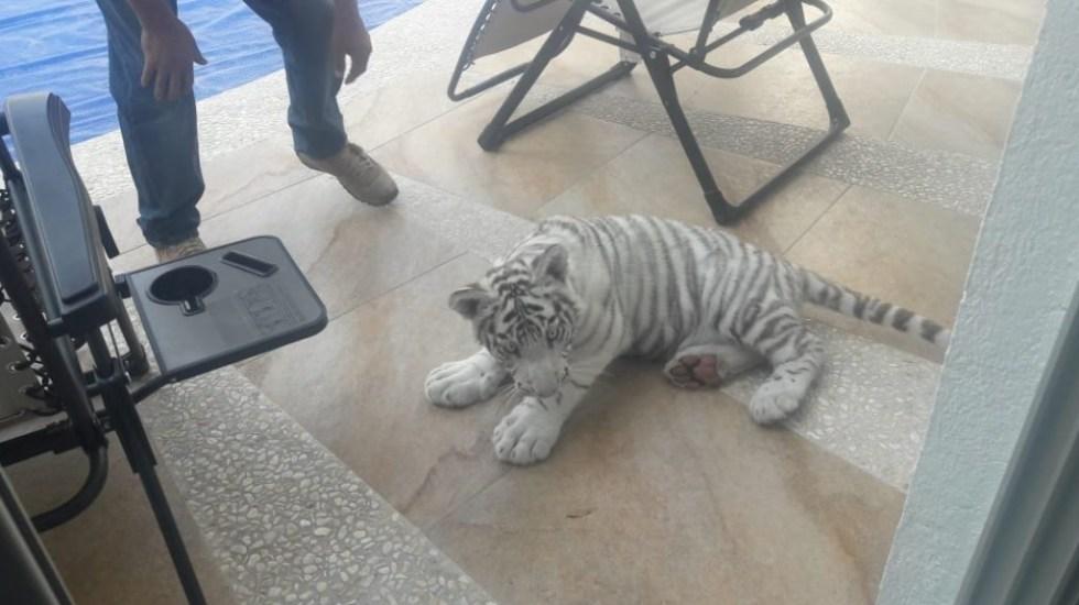 Capturan a tigre albino en calles de Querétaro - Tigre Albino Querétaro calles capturado