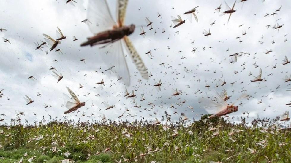 Plaga de langostas entra a Nepal, una nueva amenaza en plena pandemia - Plaga de langostas