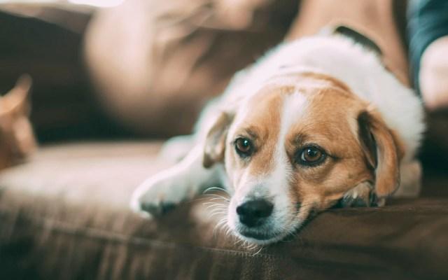 Animales de compañía no transmiten COVID-19, pero pueden contagiarse: especialista - animales de compañía mascotas coronavirus COVID-19