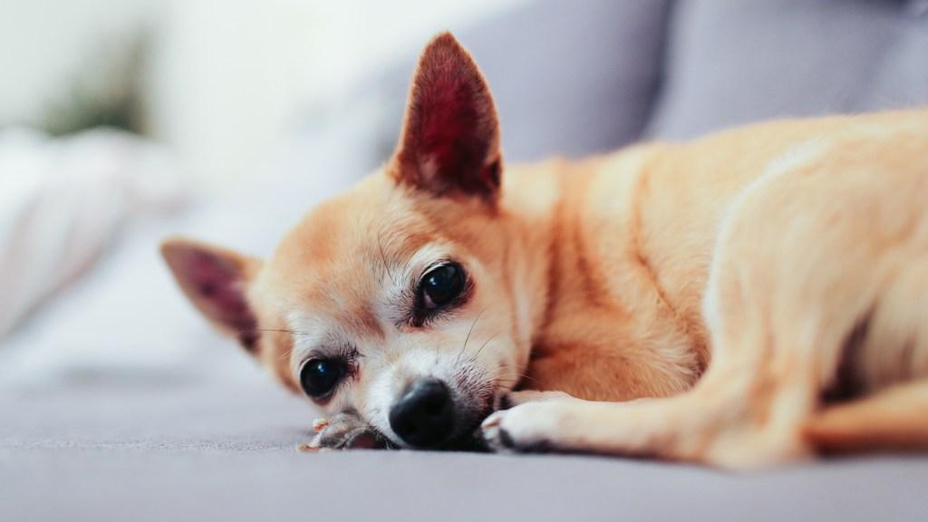 Edad de los perros no se calcula multiplicando por 7 - Perro Chihuahua. Foto de Alicia Gauthier / Unsplash