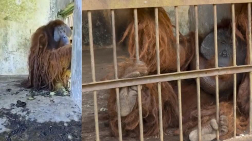 Rescatan en Indonesia a dos orangutanes tras años enjaulados - Orangutanes Indonesia Rescate