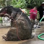 #Video Encuentran botarga de rata gigante entre basura arrastrada por lluvias en Magdalena Contreras