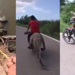 #Video Roban cocodrilo en Sinaloa a bordo de motocicleta