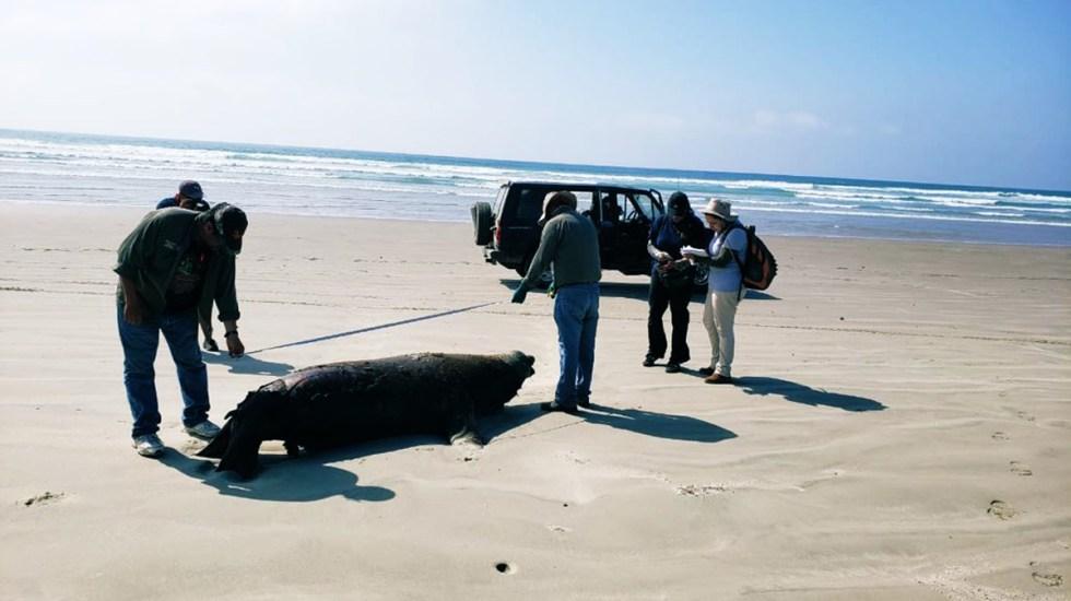 Mueren 137 lobos marinos en playas de Baja California Sur - Varamiento de lobo marino en Baja California Sur. Foto de Profepa