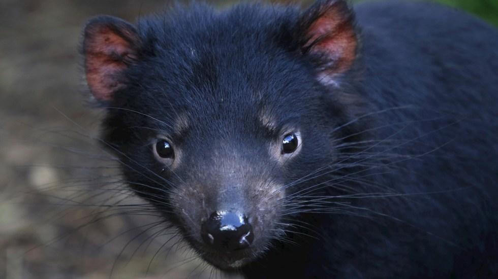 Ecologistas buscan reintroducir demonios de Tasmania en Australia continental - Demonio de Tasmania Australia animal