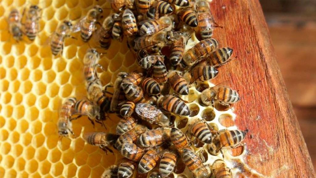 Científicos crean el primer mapa mundial de más de 20 mil especies de abejas - Científicos crean el primer mapa mundial de más de 20 mil especies de abejas. Foto EFE/Alonso Cupul/Archivo