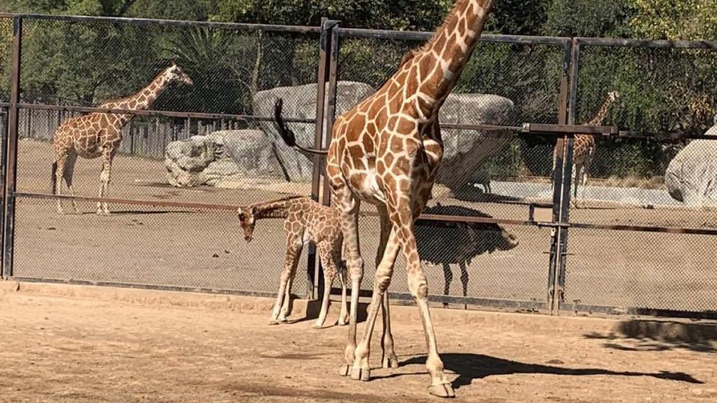 Nace jirafa en Zoológico de Chapultepec - Jirafa recién nacida en el Zoológico de Chapultepec. Foto de @Claudiashein