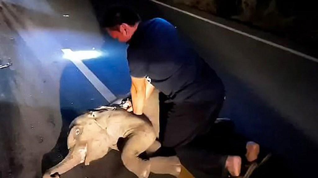 #Video Resucitan con RCP a elefante bebé tras choque con motocicleta - Elefante bebé recibe RCP tras accidente vial en Tailandia. Foto de Viral Press