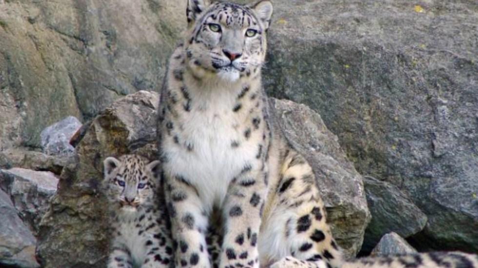 Estados Unidos detecta el primer positivo de COVID-19 de un leopardo de las nieves - Foto de NatGeo