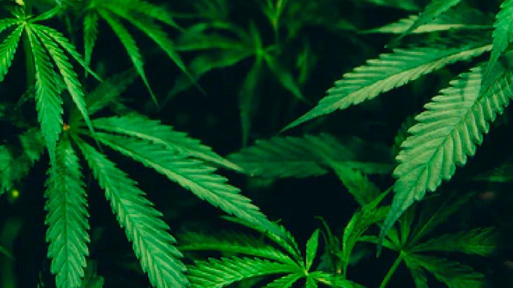 Suprema Corte extiende prórroga de plazo al Congreso sobre despenalización del uso lúdico de la mariguana - SCJN aprueba extender prórroga del plazo otorgado al Congreso de la Unión sobre despenalización del uso lúdico de la marihuana. Foto unsplash/@mrbrodeur