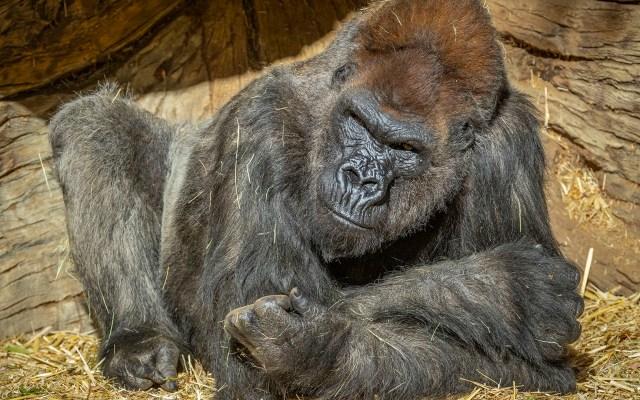 Dos gorilas en el zoológico de San Diego dan positivo por COVID-19 - Dos gorilas en el zoológico de San Diego dan positivo por COVID-19. Foto Twitter @sdzsafaripark