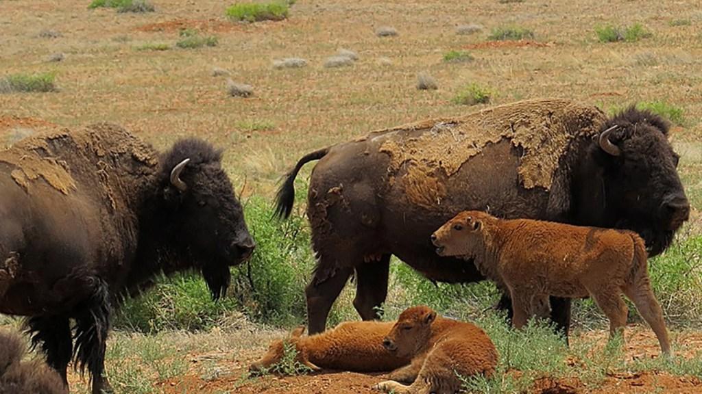 El bisonte americano busca recuperar sus dominios en el norte de México - Manada de bisontes americanos en Chihuahua. Foto de EFE