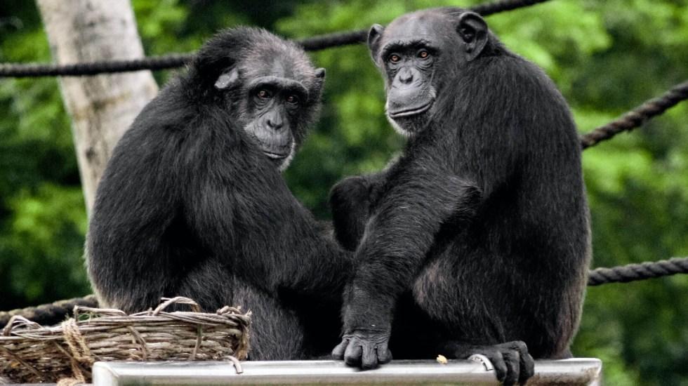 Los chimpancés se unen como los humanos ante amenazas de otros grupos, revela estudio - Chimpancés monos