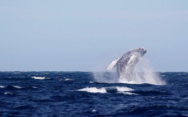 Baja California Sur vive 'año catastrófico' para el avistamiento de ballenas - Ballena en Baja California Sur. Foto de EFE