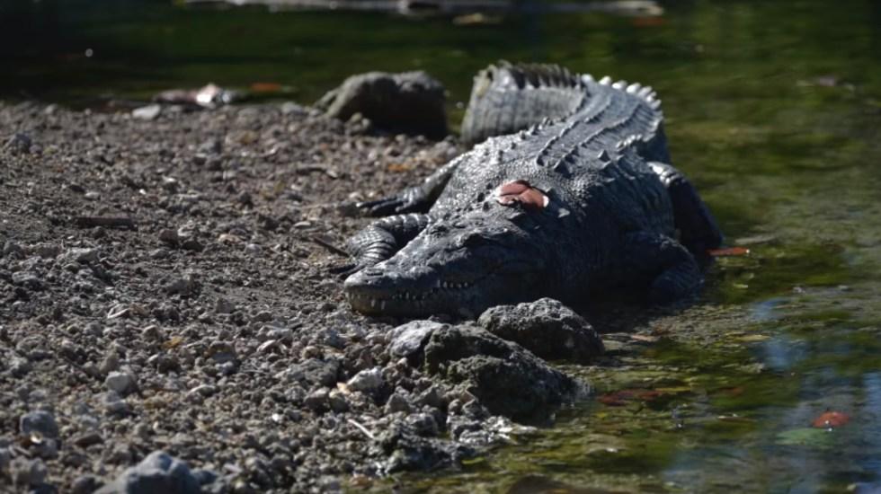 Lanzan en Florida guía de coexistencia entre humanos y el cocodrilo americano - Cocodrilo Americano