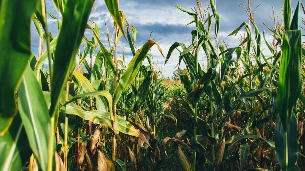 ONG piden rectificar fallo a favor de Monsanto sobre glifosato y maíz transgénico - Monsanto Maíz agricultura plantación plantas