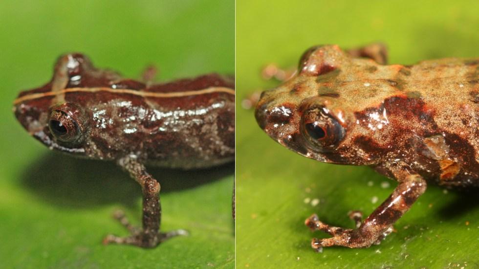 Descubren nos nuevas especies de ranas en la Amazonía peruana - Ranas Perú Amazonía