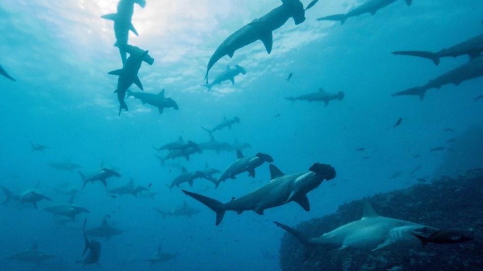 Travesía de un tiburón martillo, de Galápagos a Cocos a 50 kilómetros por día - Tiburón martillo Fotografía cedida por el Parque Nacional Galápagos que muestra tiburones martillo en la isla de Darwin, en el norte de las Galápagos (Ecuador). Foto de EFE/ Parque Nacional Galápagos