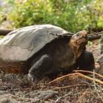 Hallan tortuga en Galápagos que se creía extinguida hace más de cien años - Encuentran tortuga que se creía extinta hace más de 100 años. Foto de EFE