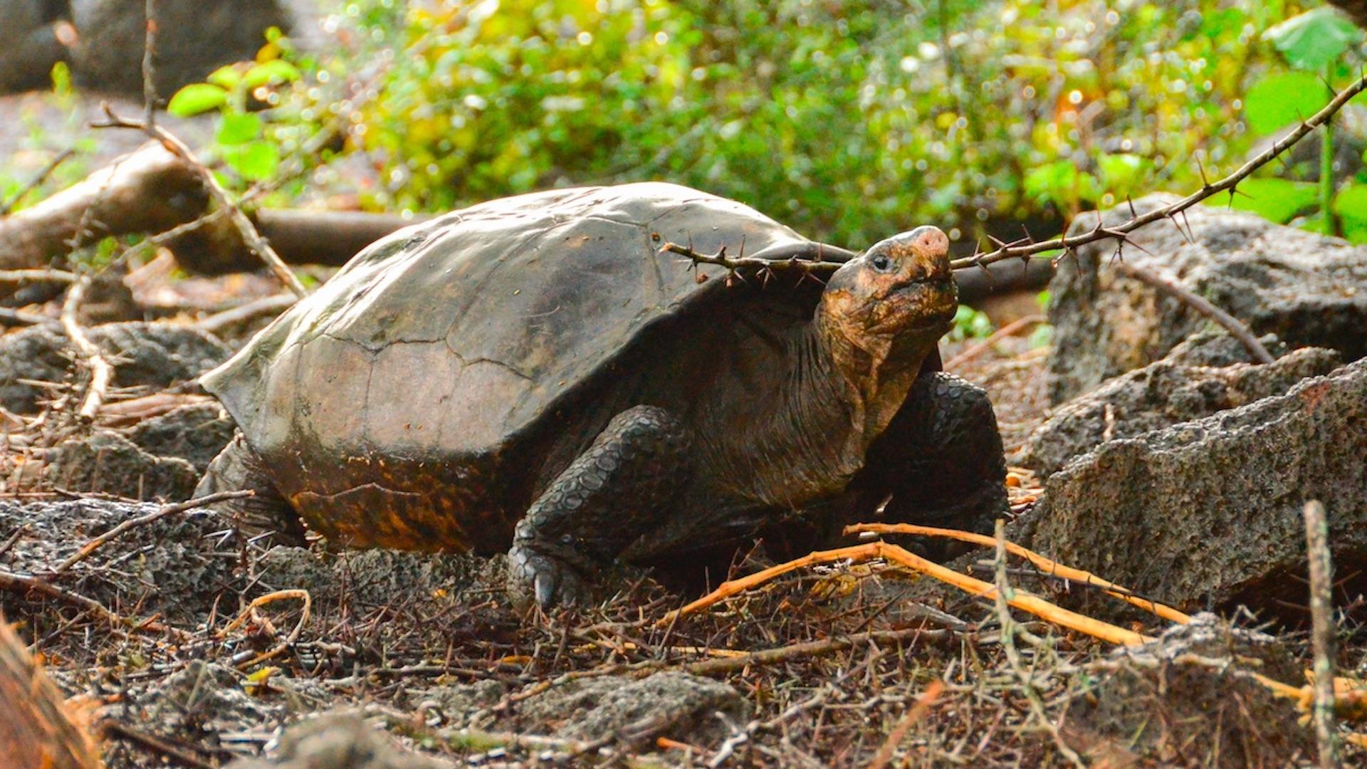 Encuentran tortuga que se creía extinta hace más de 100 años. Foto de EFE