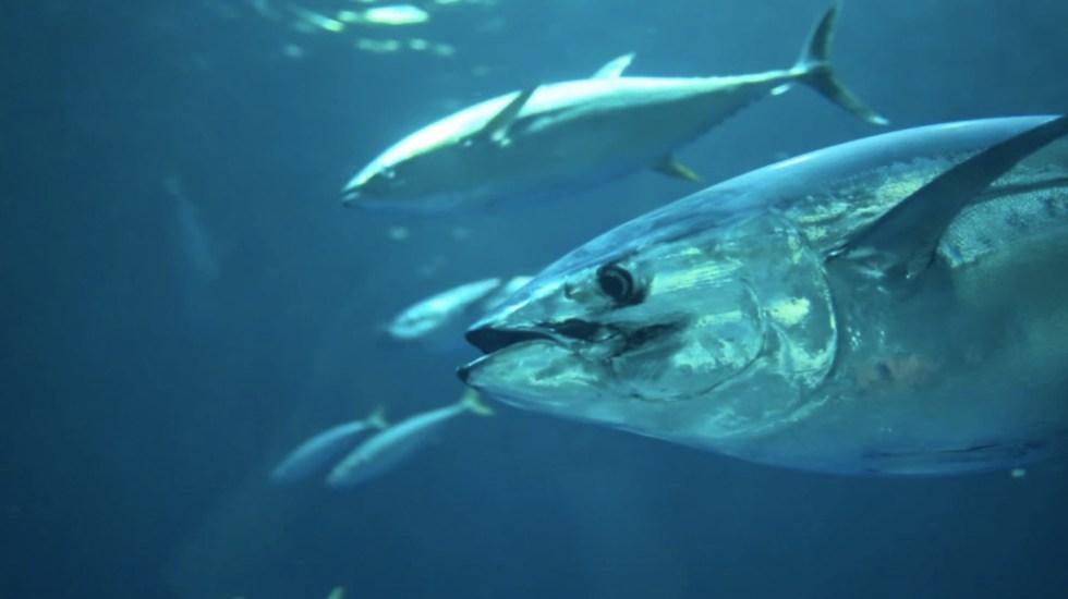 Sube a 3 mil 500 toneladas volumen permitido de captura de atún aleta azul - Sube a 3 mil 500 toneladas volumen permitido de captura de atún aleta azul. Foto de kate @prongs94
