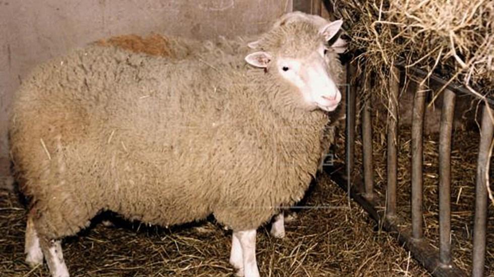 La oveja Dolly, a 25 años del experimento que revolucionó la biología - Oveja Dolly. Foto de EFE