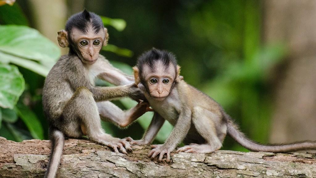 China detecta primera infección y muerte por 'virus del mono' en 2021 - Pareja de monos. Foto de Brian Mann / Unsplash