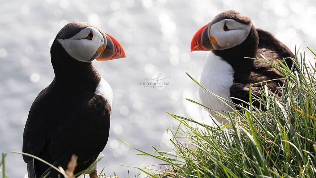 Los puffins de Islandia, por Ivonne Frid - Puffin de Islandia