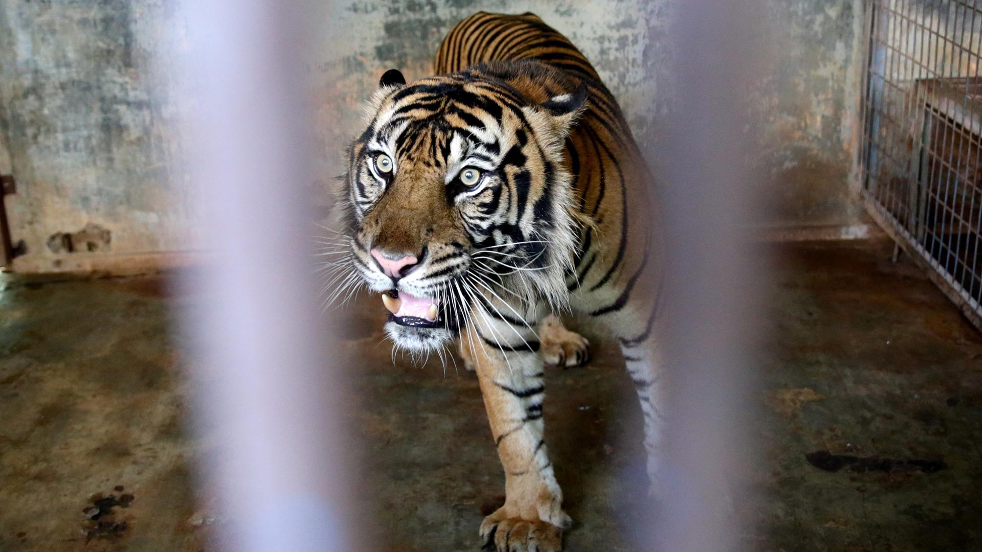 Tigres de Sumatra se contagian de COVID-19 en zoológico de Indonesia
